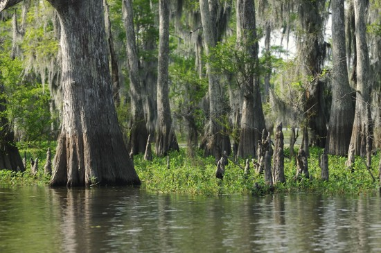 Ancient moss-draped cypress trees tower above the Atchafalaya Swamp.